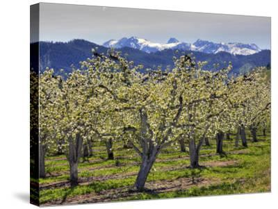 Apple Orchard in Bloom, Dryden, Chelan County, Washington, Usa-Jamie & Judy Wild-Stretched Canvas Print