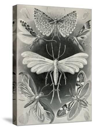 Moths -Tineida-Ernst Haeckel-Stretched Canvas Print