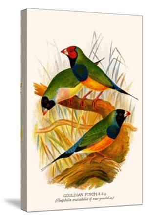 Gouldian Finch-F^w^ Frohawk-Stretched Canvas Print