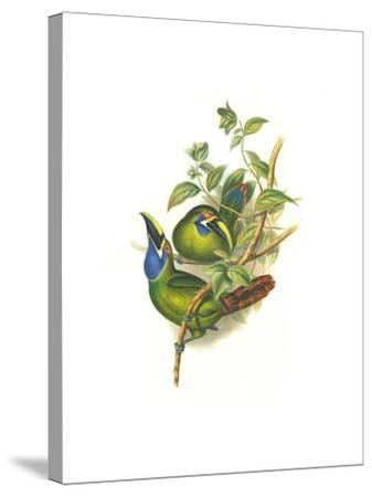 Blue Throated Toucanet-John Gould-Stretched Canvas Print