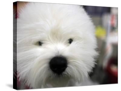 APTOPIX Westminster Dog Show-Mary Altaffer-Stretched Canvas Print