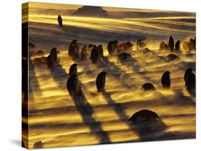 Emperor Penguins in Blizzard, Aptenodytes Forsteri, Weddell Sea, Antarctica-Frans Lanting-Stretched Canvas Print