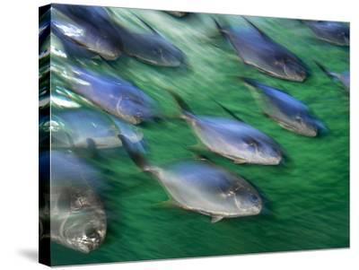 Snub-Nosed Darts, Trachinotus Blochii, Sydney Aquarium, Australia-Frans Lanting-Stretched Canvas Print