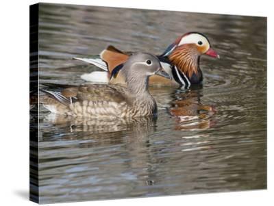 Mandarin Duck, Beijing, China-Alice Garland-Stretched Canvas Print