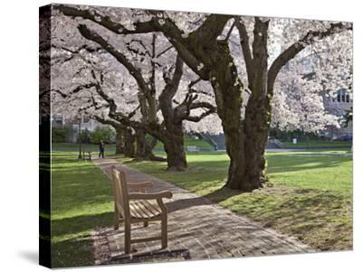 Cherry Trees on University of Washington Campus, Seattle, Washington, USA-Charles Sleicher-Stretched Canvas Print