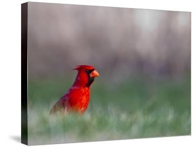 Northern Cardinal in Loup County, Nebraska, USA-Chuck Haney-Stretched Canvas Print