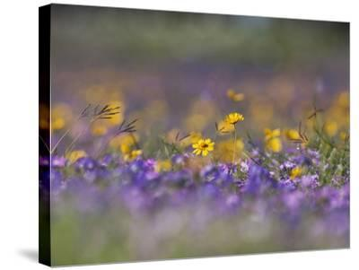 Roadside Wildflowers, Texas, USA-Larry Ditto-Stretched Canvas Print