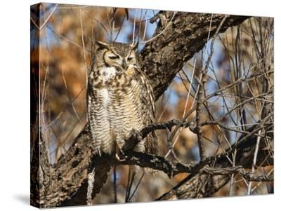 Great Horned Owl (Bubo Virginianus) Sleeping on Perch in Willow Tree, New Mexico, USA-Larry Ditto-Stretched Canvas Print