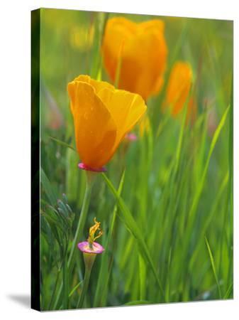 California Poppy Reserve, Lancaster, California, USA-John Alves-Stretched Canvas Print
