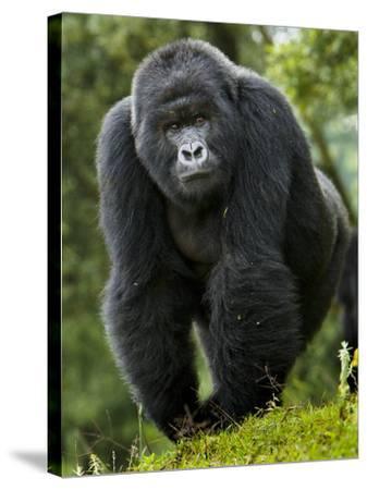 Kwitonda Group of Mountain Gorillas, Volcanoes National Park, Rwanda-Ralph H^ Bendjebar-Stretched Canvas Print