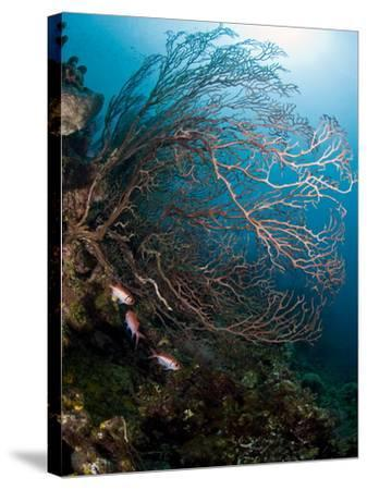 Reef Scene with Sea Fan, St. Lucia, West Indies, Caribbean, Central America-Lisa Collins-Stretched Canvas Print