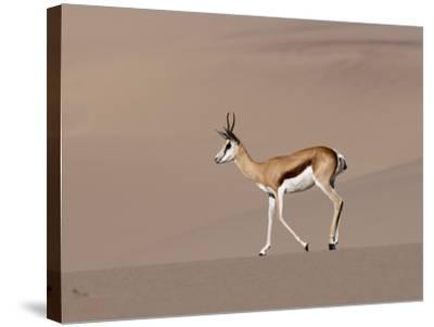 Springbok (Antidorcas Marsupialis) on Sand Dune, Skeleton Coast National Park, Namibia, Africa-Sergio Pitamitz-Stretched Canvas Print