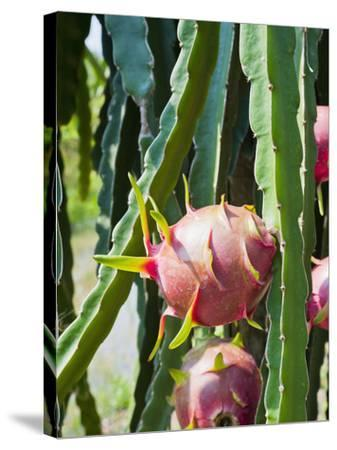 Dragon Fruit at a Fruit Farm, Mekong Delta, Vietnam, Indochina, Southeast Asia, Asia-Matthew Williams-Ellis-Stretched Canvas Print