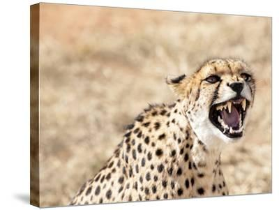 Snarling Cheetah (Acynonix Jubatus) Showing Teeth, Kalahari Plains, Namibia, Africa-Kim Walker-Stretched Canvas Print
