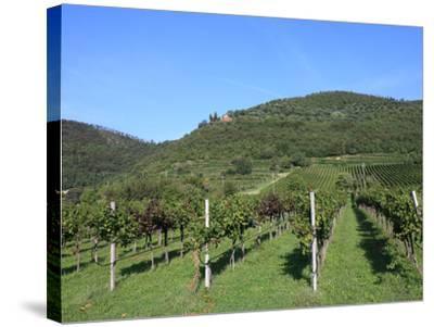 Vineyard, Vincenza, Veneto, Italy, Europe-Vincenzo Lombardo-Stretched Canvas Print