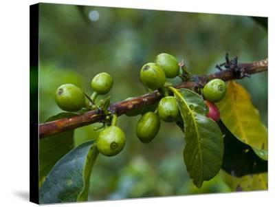 Coffee Beans, Highlands, Papua New Guinea, Pacific-Michael Runkel-Stretched Canvas Print