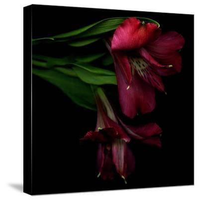 Alstroemeria 4-Magda Indigo-Stretched Canvas Print