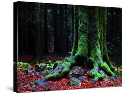 Ponthus Beech 2-Philippe Manguin-Stretched Canvas Print