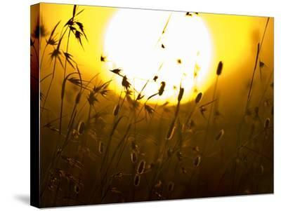 Silhouette of Grass at Sunrise, Tanzania--Stretched Canvas Print