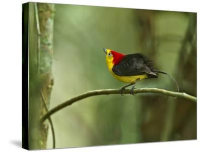 The Wire-Tailed Manakin, on His Display Perch, Courts a Female-Tim Laman-Stretched Canvas Print