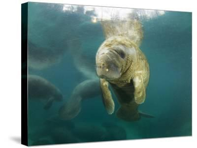 Young Manatees Rest Just under the Surface of the Water-Mauricio Handler-Stretched Canvas Print