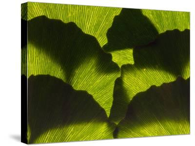 An Arrangement of Ginkgo Leaves, Ginkgo Biloba-Darlyne A^ Murawski-Stretched Canvas Print