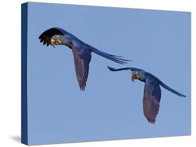 Hyacinth Macaws, Anodorhynchus Hyacinthinus, in Flight-Roy Toft-Stretched Canvas Print