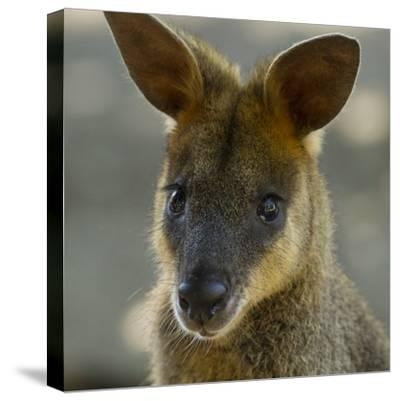 Portrait of a Wallaby-Michael Melford-Stretched Canvas Print