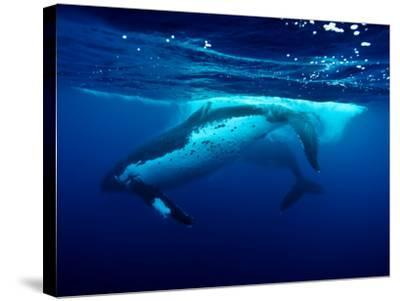 Male Humpback Whales Slap their Tail Flukes as a Sign of Strength-Jason Edwards-Stretched Canvas Print