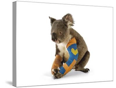 A Koala Recuperates in a Hospital after Being Struck by a Car-Joel Sartore-Stretched Canvas Print