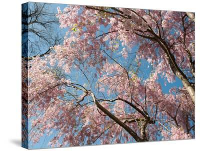 Canopy View of Weeping Cherry Trees, Prunus Subhirtella Var. Pendula-Darlyne A^ Murawski-Stretched Canvas Print