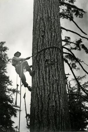 Logger Climbing Tree, ca. 1947-K.S. Brown-Stretched Canvas Print