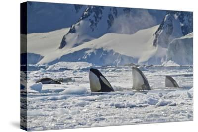 Three Killer Whales Hunt a Leopard Seal on Pack Ice-Ralph Lee Hopkins-Stretched Canvas Print