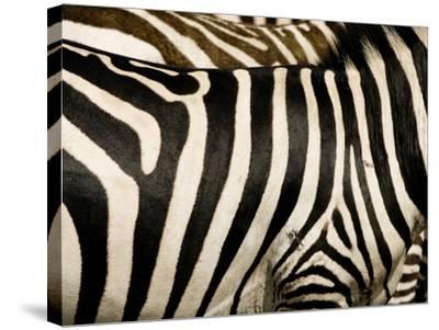 A Pattern of Stripes on a Burchell's Zebra.  Kenya.-Karine Aigner-Stretched Canvas Print