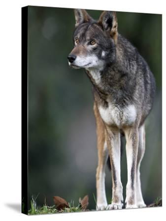 A Lone Red Wolf Looking Away from Camera.-Karine Aigner-Stretched Canvas Print