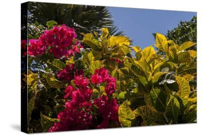 Bougainvillea Flowers, Bavaro, Higuey, Punta Cana, Dominican Republic-Lisa S^ Engelbrecht-Stretched Canvas Print