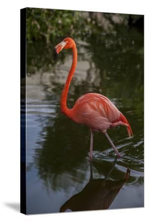 Pink Flamingo, Bavaro, Higuey, Punta Cana, Dominican Republic-Lisa S^ Engelbrecht-Stretched Canvas Print