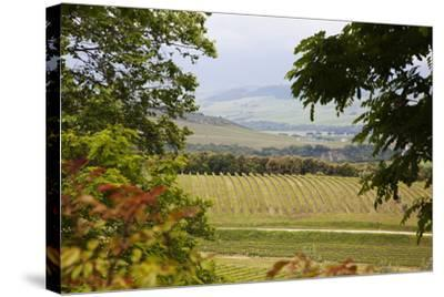 Vineyard and Olive Grove on Rolling Hillside, Tuscany, Italy-Terry Eggers-Stretched Canvas Print