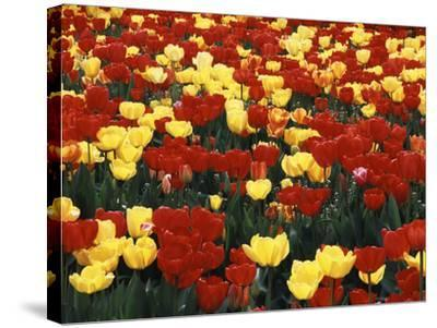View of Tulip Flowers at Mt. Vernon, Washington State, USA-Stuart Westmorland-Stretched Canvas Print