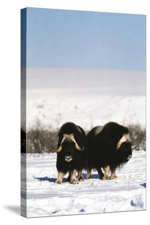 Musk Ox Bull Wildlife, Arctic National Wildlife Refuge, Alaska, USA-Hugh Rose-Stretched Canvas Print