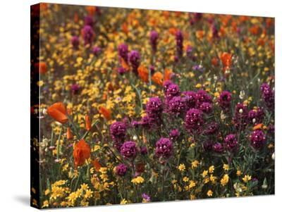 Owl's Clover, Coreopsis, California Poppy Flowers at Antelope Valley, California, USA-Stuart Westmorland-Stretched Canvas Print