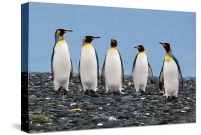 Four King Penguins-Howard Ruby-Stretched Canvas Print