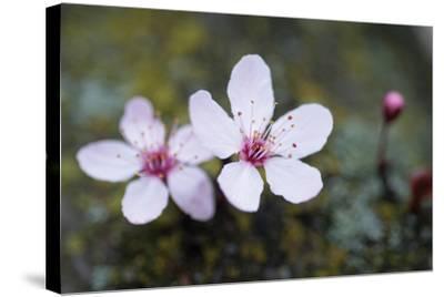 Portland Cherry Blossom 2-Erin Berzel-Stretched Canvas Print