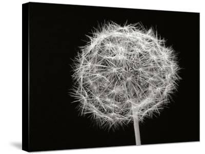Dandelion 1-Jim Christensen-Stretched Canvas Print