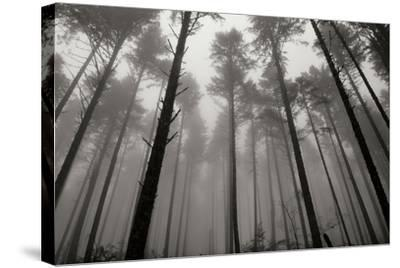 Redwoods II-Brian Moore-Stretched Canvas Print
