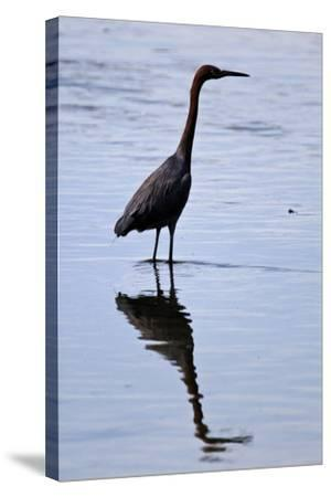 Bird 4-Lee Peterson-Stretched Canvas Print