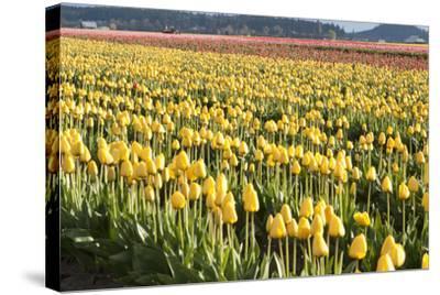Yellow and Orange Tulips II-Dana Styber-Stretched Canvas Print