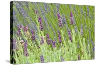 Lavender Sway I-Dana Styber-Stretched Canvas Print