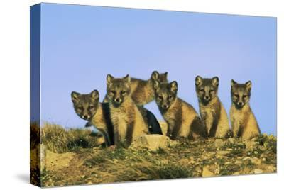 A Row of Curious Young Arctic Foxes (Alopex Lagopus) Eye the Photographer-Norbert Rosing-Stretched Canvas Print