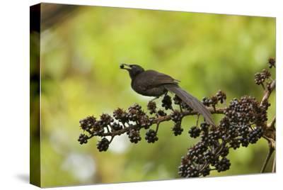 A Female Plumaged Huon Astrapia Bird of Paradise Feeds On Schefflera Fruit-Tim Laman-Stretched Canvas Print